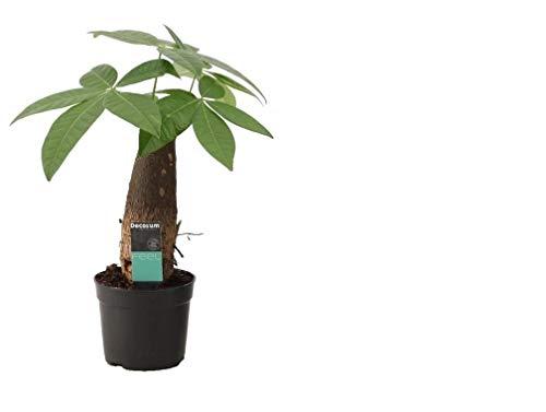 Glückskastanie (Pachira aquatica), pflegeleichte Zimmerpflanze (XXL Stamm im 9cm Topf, ca. 25cm hoch)