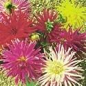 Il vous suffit de graines de fleurs???Dahlia Cactus fleuri M?lange???120?Seeds???Grande bo?te
