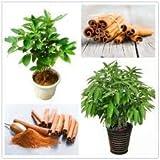 Dichondra 10 Cinnamon Treen Seeds Green.