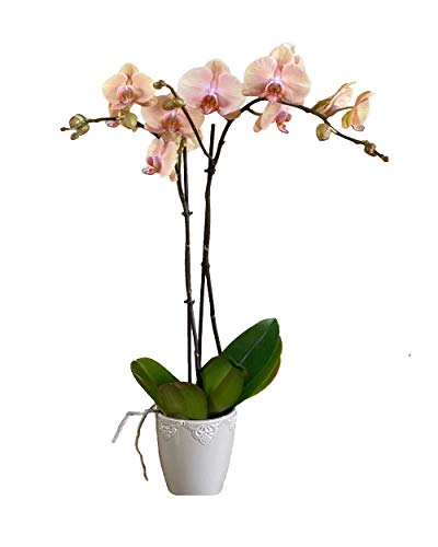 Earthly Orchids Live Orchid Plant – Summer Daze 2 Spike Peach