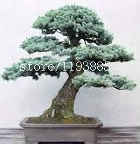 HONIC 50pcs / Bag Colorado Blue Spruce (Picea pungens), Bonsai-Evergreen Topfbaumanlage für Hausgarten