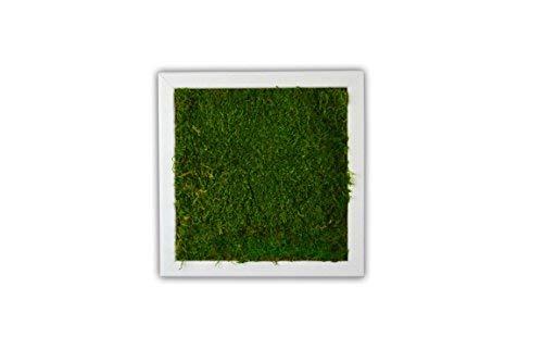 Moosbild Pflanzenbild Wandbild mit Flachmoos, versch. Maße günstig (100{81493292d4404218e4d5e1b369219fafbabbcfee7da06f1312647652459d9c21} Flachmoos) (Weiß, 25x25 cm)