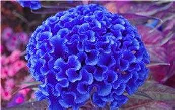 Green Seeds Co. variedades de cresta de gallo, 200pcs / bag bonsai de cresta de gallo, Celosia Cristata hermosa flor de casa de planta de bonsai: Deep Blue
