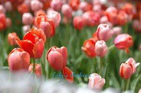 100pcs graines Tulip, Tulip agesneriana, aromatiques graines de fleurs des plantes en pot plus belles plantes de tulipes vivaces Jardin 8