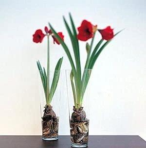 SVI 2 Stück Amaryllis blüht Samen