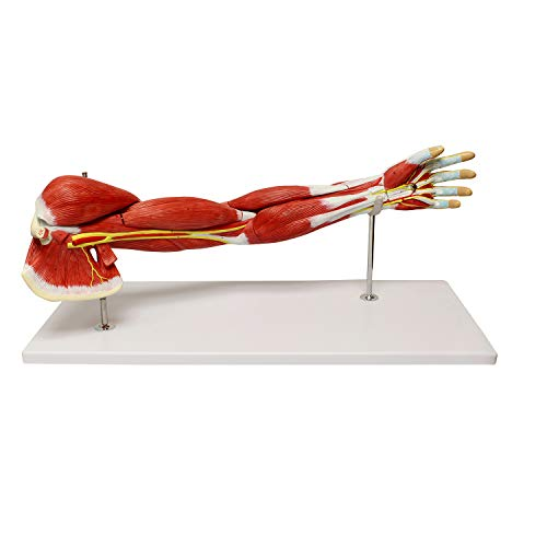 MonMed Human Arm Anatomical Muscle Model Anatomy Arm Model – Shoulder Anatomy Model Muscular Hand Model – 7 Pieces