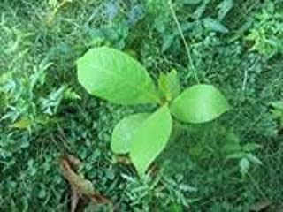 Almond Tree Seedling from 6'' and UP Almond Plant for Sale Tropical Fruits 1 Almond Exotic Plant