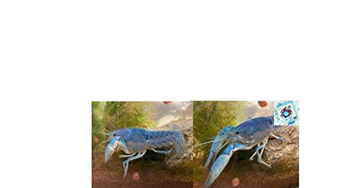 Topbilliger Tiere Blauer Floridakrebs - Procambarus alleni - Pärchen