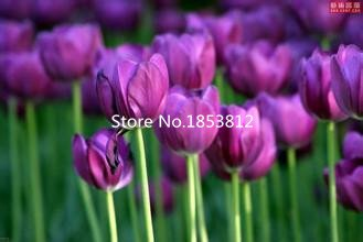 Violet : Sale!500Piece 16 Colors Tulip Seeds 2016 New Garden Flowers Four Season Sowing World Rare Flower Seeds For Garden