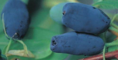Lonicera kamtschatica kamtschatica - Sibirische Blaubeere - Heckenkirsche