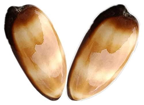 2PCS Conchas de barril de vino natural Caracol Conch Conch Nautical Decoración del hogar Decoración de espécimen Playa Boda Decoraciones BRICOLAJE Acuario de peces Aquarium Adornos Adornos Conch Shell