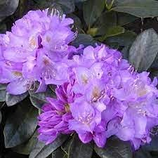 Rhododendron 'Minnetonka' Gallon unisex 3 safety