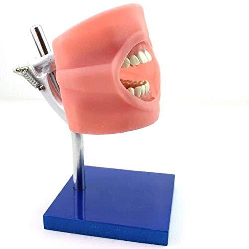 ZHANGYY Modelo anatómico Dental, enseñanza médica Dental Oral Humana Modelo anatómico Equipo de enseñanza de la Escuela médica 0913 (Color: Multicolor)