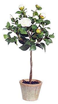 Vistaric 100% de vraies graines de camélia, (camellia japonica), graines de fleurs de bonsaï en pot de plantes d'extérieur en bricolage pour le jardin de la maison 5 pcs/sac 2