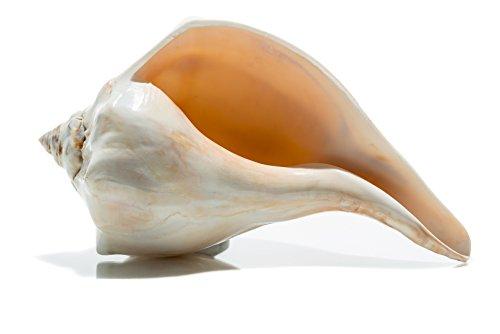 Atlantic Whelk Sea Shell | Polished Atlantic Whelk 7-8 | Large Shell for Display & Home Decor | Plus Free Nautical Ebook by Joseph Rains