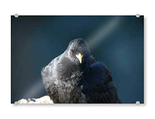 artboxONE Acrylglasbild 120x80 cm Natur Petrol Blackbird Bild hinter Acrylglas - Bild Vogel bergdohle Rabe