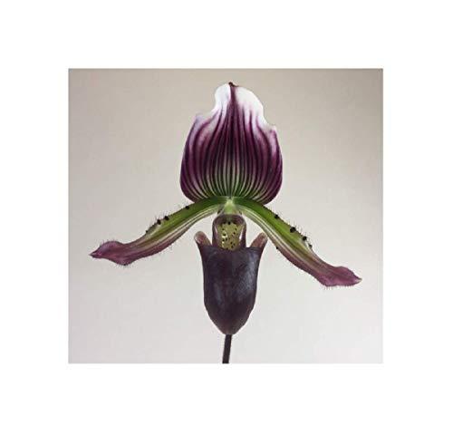 Stk - 1x Paphiopedilum Hortense x Maudiae coloratum terrestrisch OW189 - Seeds Plants Shop Samenbank Pfullingen Patrik Ipsa
