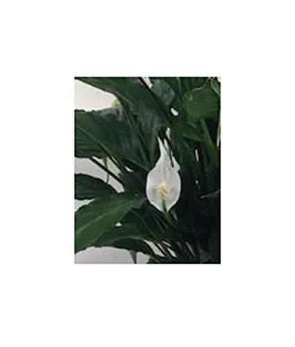 Stk - 1x Spathiphyllum Cupido Bingo Aronstabgewächs Orchidee Pflanze OW271 - Seeds Plants Shop Samenbank Pfullingen Patrik Ipsa