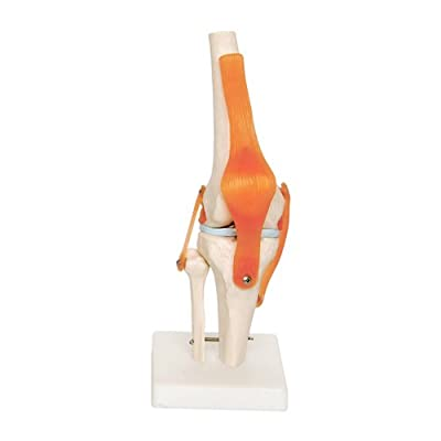 66fit HUMAN KNEE JOINT from 66fit