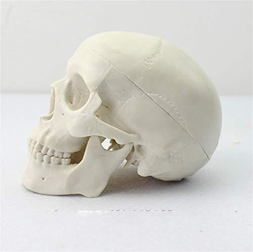 JAP768 1pc Mini Skull Model Medical Art Human Body Skull Bone Skeleton Model
