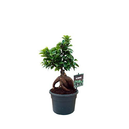 Ficus ginseng bonsai | Planta retusa | Planta de interior (Envíos solo a Península)