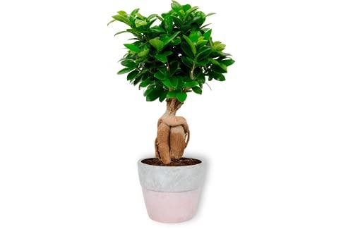 Ficus Ginseng – higo chino – Bonsái en maceta rosa de hormigón – Altura +/- 25 cm incluida maceta – 12 cm de diámetro (maceta) – Fácil cuidado Bonsái Palme