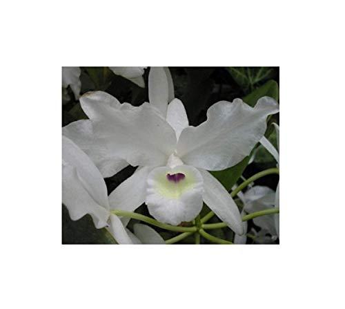 Stk - 1x Cattleya skinneri albescens Multiflower weiß Orchidee Pflanze OW36 - Seeds Plants Shop Samenbank Pfullingen Patrik Ipsa