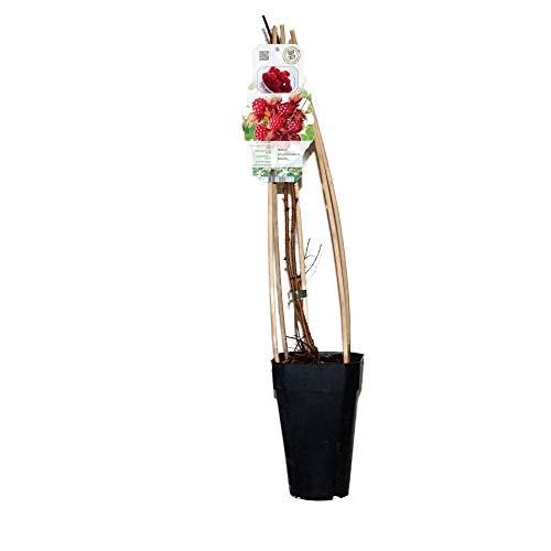 Himbeere Japanische Weinbeere - Rubus phoenicolasius Maxim - Gesamthöhe 60-80 cm - 2 Liter Topf