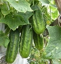 Arkansas Little Leaf Cucumber Seeds - Productive, Compact, and Vigorous Plants! (25 Seeds)