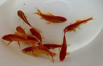 Toledo Goldfish Live Comet Goldfish (3 to 4 inches, 10 Fish) for Aquariums, Tanks, or Garden Ponds – Live Common Goldfish - Born and Raised in The USA - Live Arrival Guarantee