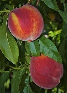 1 Peach Fruit Trees Live Plants Sweet Edible Landscaping Starter Seedling Sapling Fresh