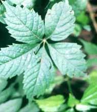Parthenocissus quinquefolia: Virginia Creeper Seeds