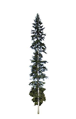 Weiß-Tanne (Abies alba) 25 Samen >Frisches Saatgut< auch Silbertanne genannt