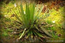 Seltene Agave Filifera Schidigera Gewinde-Blatt Sukkulente Aloe Pflanze Samen 100 Samen