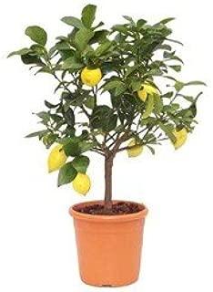 Mimosaacacia dealbata hauteur 120//140 cm