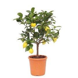 Citronnier 4 Saisons sur tige hauteur totale 60-80 cm