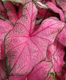 (3) Fannie Munson Caladium Bulbs, Pretty Pink and Green Coloring, Great For Nice Colorful Foilage throughout your Garden