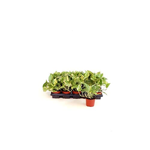 Verdecora | Potho - Maceta 11cm (Altura planta 15-20cm) - Precio Unitario