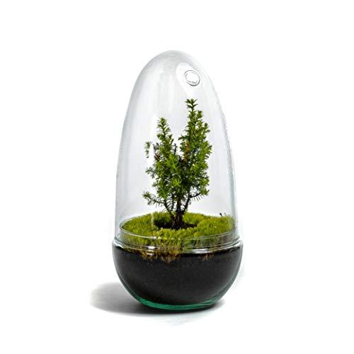 DIY Öko Flaschengarten von Botanicly: Egg Groß - Weihnachtsedition (Höhe: ca. 25 cm, Breite: ca. 12 cm)