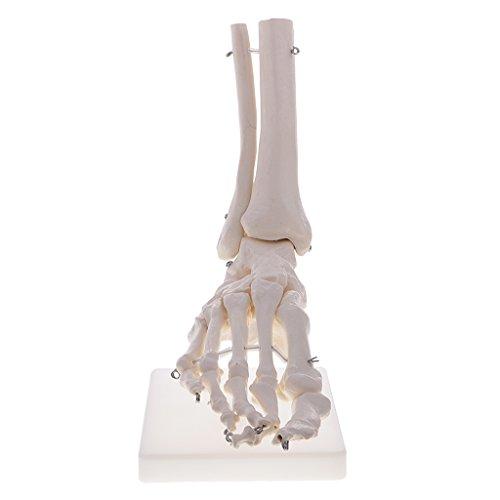 Homyl 1: 1 Lebensgroße menschliche Fuß Knöchel Skelett Modell Lehrmittel für Labor Anatomie Studien Display