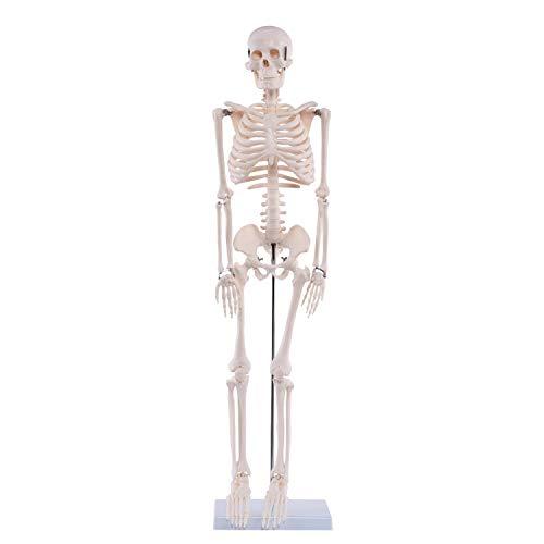"""Anatomie Modell """"Menschliches Skelett"""",mittel, ca. 85 cm, geeignet als Lernmodell oder Lehrmittel zur Untersuchung von Funktion, Bau und Bewegung des Körpers."""