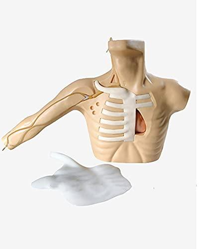 Modelo De Cánula De Punción Venosa Central para Adultos, Punción De La Vena Subclavia Y Venopunción Yugular Interna, Modelo De Entrenamiento, Maniquí De Práctica De Intubación
