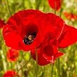 Alick 100 Semillas de Flor de Amapola Roja.
