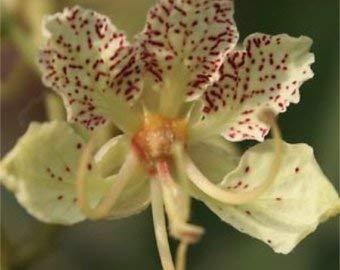 10 graines - Bauhinia retusa White Orchid grand arbre ou fleurs parfumées en plein air