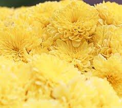 Creative Farmer Flower Seeds : Mums Yellow Flower Seeds - Kitchen Garden Pack