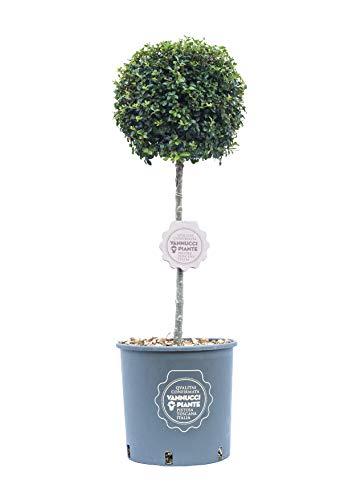 Ligustro ionandrum, Vannucci Piante, Arbusto sempreverde, Pianta vera in vaso di Vannucci Piante, Mini alberetto, Pianta da terrazzo