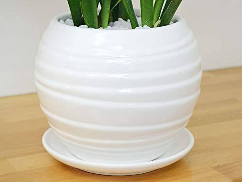 フラワーコーポレーション『観葉植物万年青(オモト)都城(ミヤコノジョウ)ボール形陶器鉢植え』