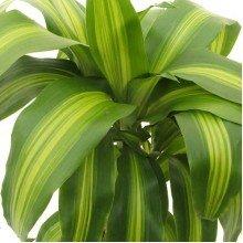 Plants Guru Cornstalk Dracaena