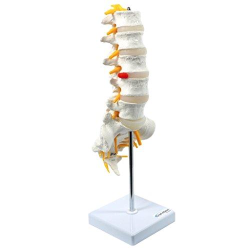 S24.3193 - Modelo anatómico de vértebra lumbar