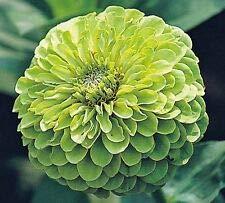 Zinnia Green Envy Dahlie, 150 Samen